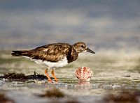 Ruddy Turnstone ( Arenaria interpres ) Vira Pedra