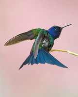 Beija Flor Tesoura / Swallow-Tailed Hummingbird / Eupetomena macroura