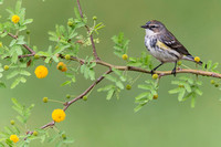 Yellow Rumped Warbler ( Dendroica coronata )