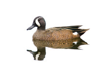 Blue-winged Teal ( Anas discors ) Marreca de asa azul