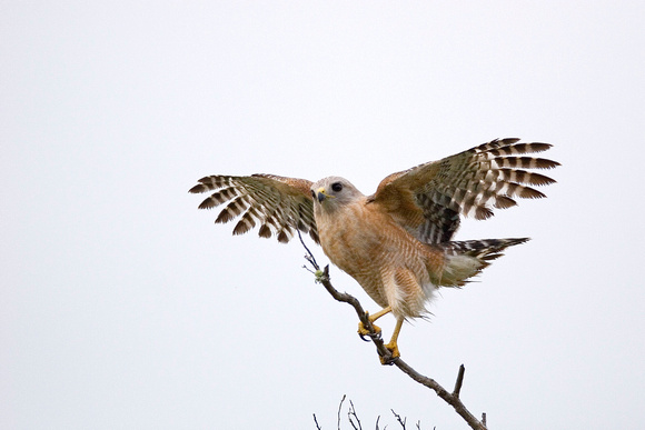 Red Shouldered Hawk ( Buteo Lineatus )