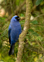 Sanhacu Frade / Diademed Tanager / Stephanophorus diadematus