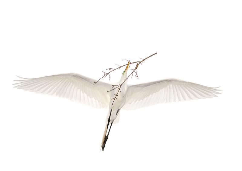 Great Egret ( Ardea alba ) Garça Branca Grande